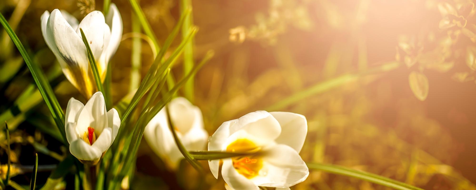 banner_blomst_morgen